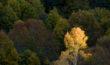 Golden Tree - Bulgaria
