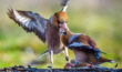 Hawfinches Squabbling