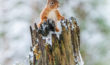 Peeping Red Squirrel_