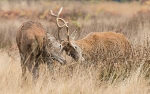 Red Deer Rutting at Richmond Park