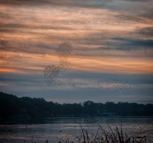 Starlings at Frensham Ponds