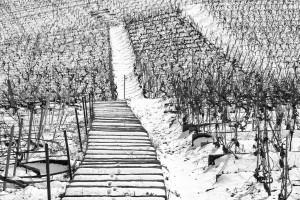Tracks Through the Vineyard