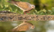 Collared Dove Reflection